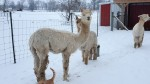 Alpacas in Winter